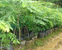 供应黄花梨苗广西供应商 黄花梨树或者花梨木苗玉林市场