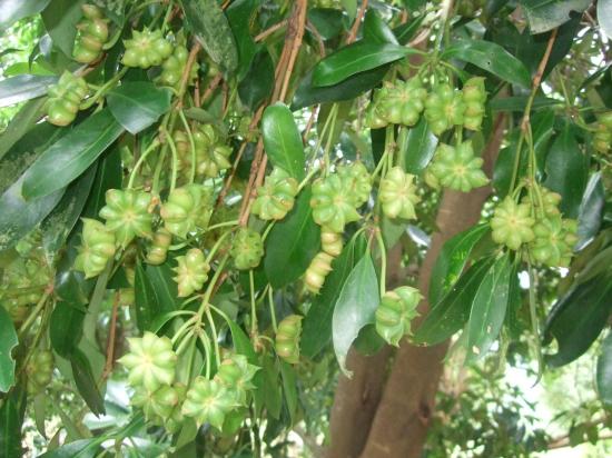 八角果树.jpg
