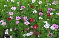 广西公园绿化花种波斯菊、格桑花