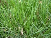 广西绿化边坡、公园边坡绿化草坪草地早熟禾